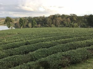 Choui Fong Tea Estate Northern Tea Merchants